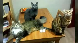 Nayla Messi And Romeo Cats - Video