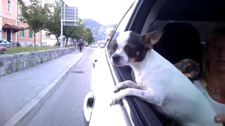 Dog enjoys car ride - Video