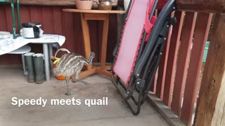 Emu meets quail  - Video