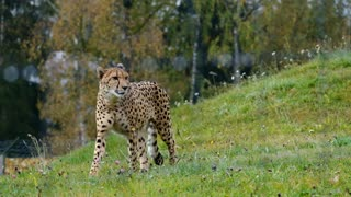 The Cheetah, the Fastest Animal!
