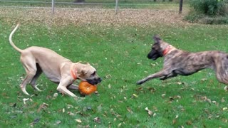 Funny Great Danes play with pumpkin - Video