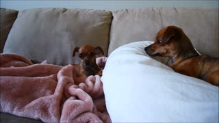 Super Talkative Chihuahua Annoys Her Sister - Video