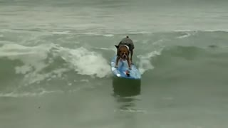 Surfing contest features paddling pooches - Video