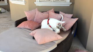 Great Dane rearranges pillows to get comfy on lounger - Video