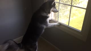 Husky can't contain himself after spotting deer herd