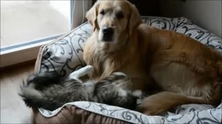 Crazy kitten tests patience of Golden Retriever