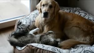 Crazy kitten tests patience of Golden Retriever - Video