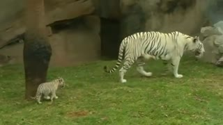 Baby Tigers Make Roaring Zoo Debut - Video