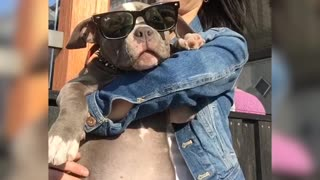 Adorable bully puppy with glasses