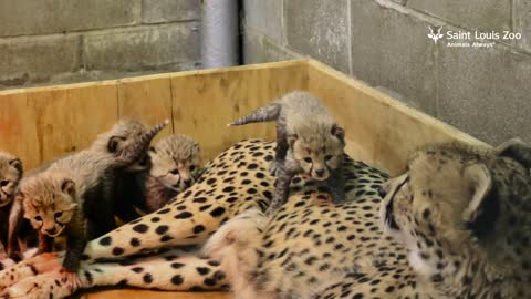 St. Louis Zoo Welcomes Their Biggest Litter Of Cheetah Cubs