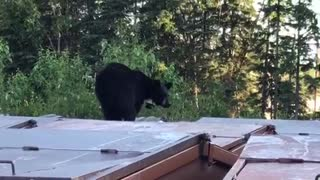 Bear Gets Alarmed - Video