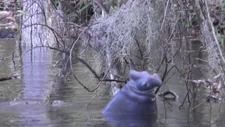 Hungry manatee vigorously chomps away at vegetation - Video