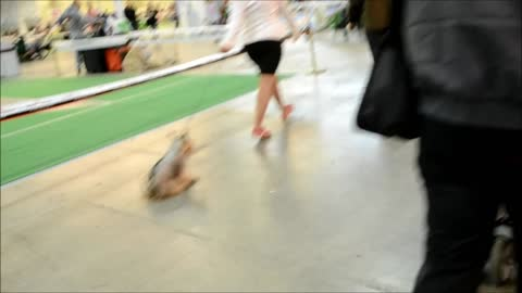 Oops. Dog scat in Dog Show
