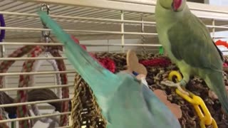 A Parrot Sneaks Up Behind His Brother. What He Says To Him Is Absolutely Hilarious! - Video