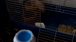 Jasper cleaning his cage