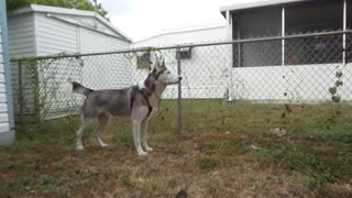 Husky love in slow motion - Video