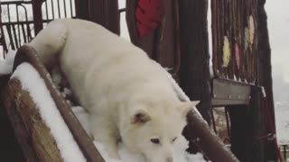 While the Kids are Away the Husky Will Play - Video
