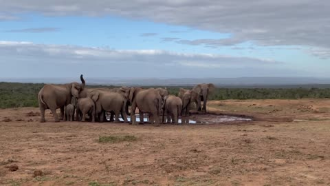 Herd of elephants drinking at a watering hole