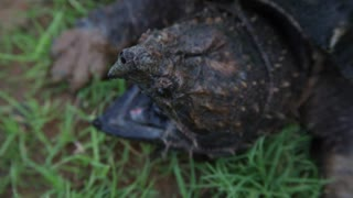 Alligator Snapping Turtle up close - Video