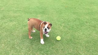 English Bulldog still learning how to fetch - Video