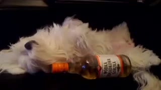 Dog snores after partying hard - Video