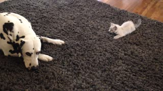 Determined Kitten Tries To Get Dalmatian's Attention - Video
