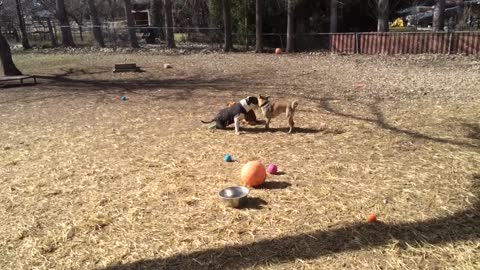 Inspiring playtime between disabled Pit Bull and rescued street dog