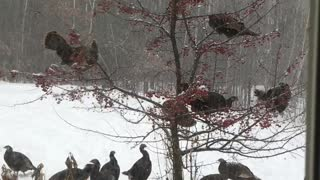 Turkeys in a Blizzard - Video