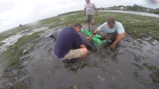 Good Samaritans Help Beached Manatees After The Storm - Video