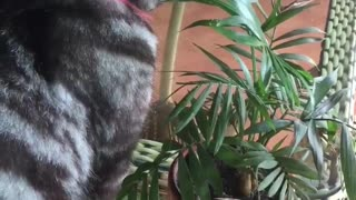 Cats eating grass  - Video