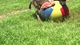 Donkey Has a Ball