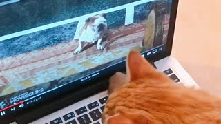 Orange cat watching garfield on laptop computer