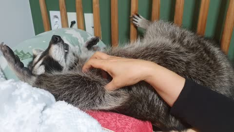 Raccoon lies on the bed with his arms open and sleeps under his mother's touch