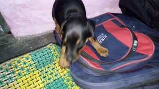 Black dog going inside backpack and biting backpack  - Video