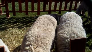 Sheep exhibition - Video