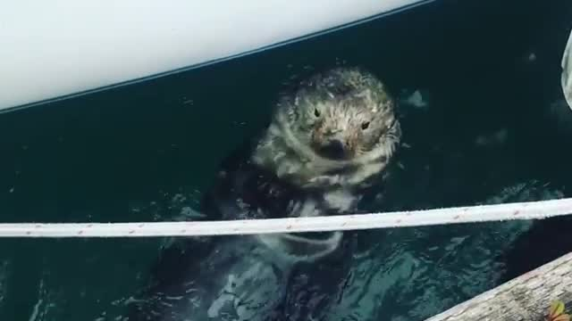 Cute otter in Alaska hangs out by the docks - Video
