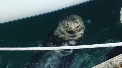 Cute otter in Alaska hangs out by the docks