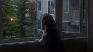 Dog looking out window imitates truck siren - Video