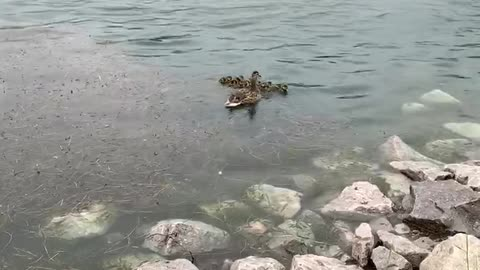 Duckling Reunited With Mother Duck