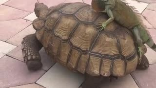 Iguanas Breaks into Tortoise Enclosure for a Free Ride