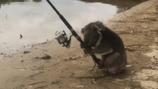 Extremely Adorable Koala Finds Fishing Really Relaxing