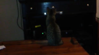 Kitten intently watches animal documentary on TV