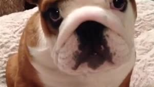 English Bulldog puppy loves his new bed - Video