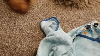 Rolling Yorkie - Video