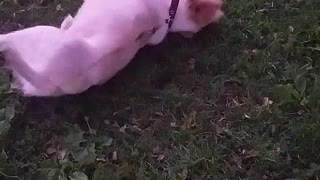 White dog on black leash rolls around in grass - Video