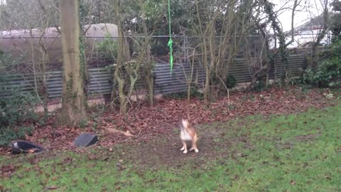 Crazy dog swings from a rope without touching the ground