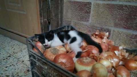 Kitty Play With Home onion
