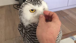 Ivetta the friendly Snow Owl - Video