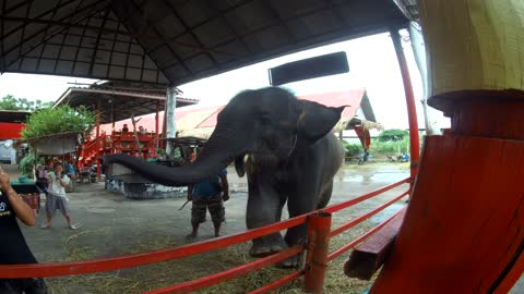 Funny dancing elephant in Thailand
