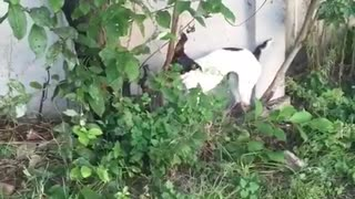 White black dog biting tree branches